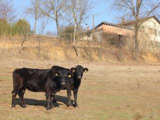 Le razze bovine per la carne grass fed