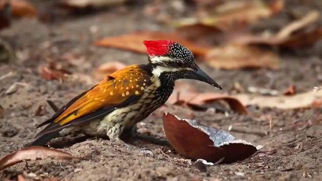 BIRDS - Black-rumped Flameback