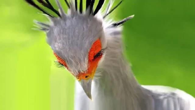 Birds - Secretary Bird