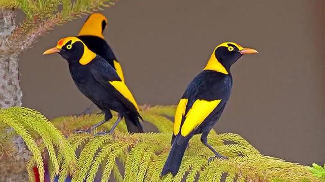 BIRDS Regent Bowerbird