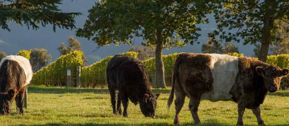 Te-Whare-Ra-Vineyard-Bulls-Marlborough-5