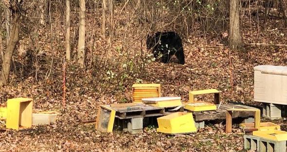 """Nov 2020 Bear """"Attack"""""""