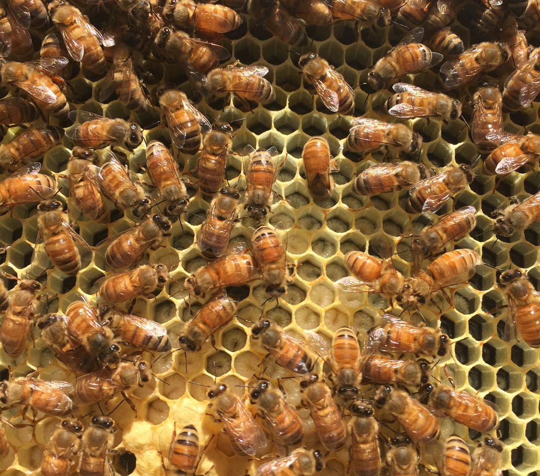 Bees on Frame.JPG