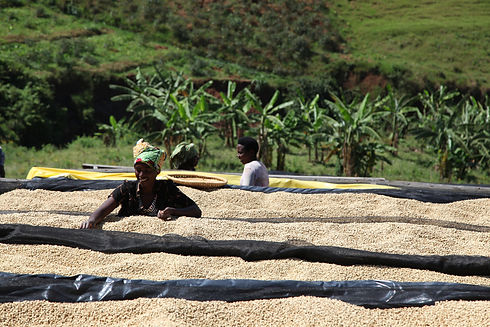 buf-remera-coffee-drying-on-african-beds