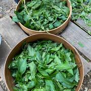 Japanese Indigo Leaves