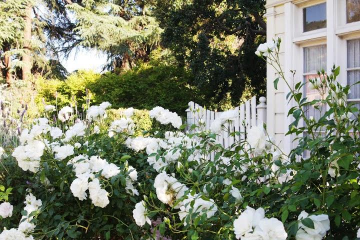 front_rose bushes1.jpg