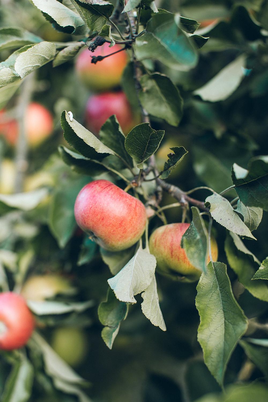 Röda äpplen på ett träd