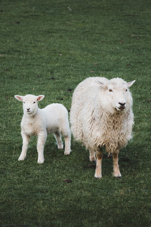 En fårtacka och hennes lamm ståendes på en gräsmatta