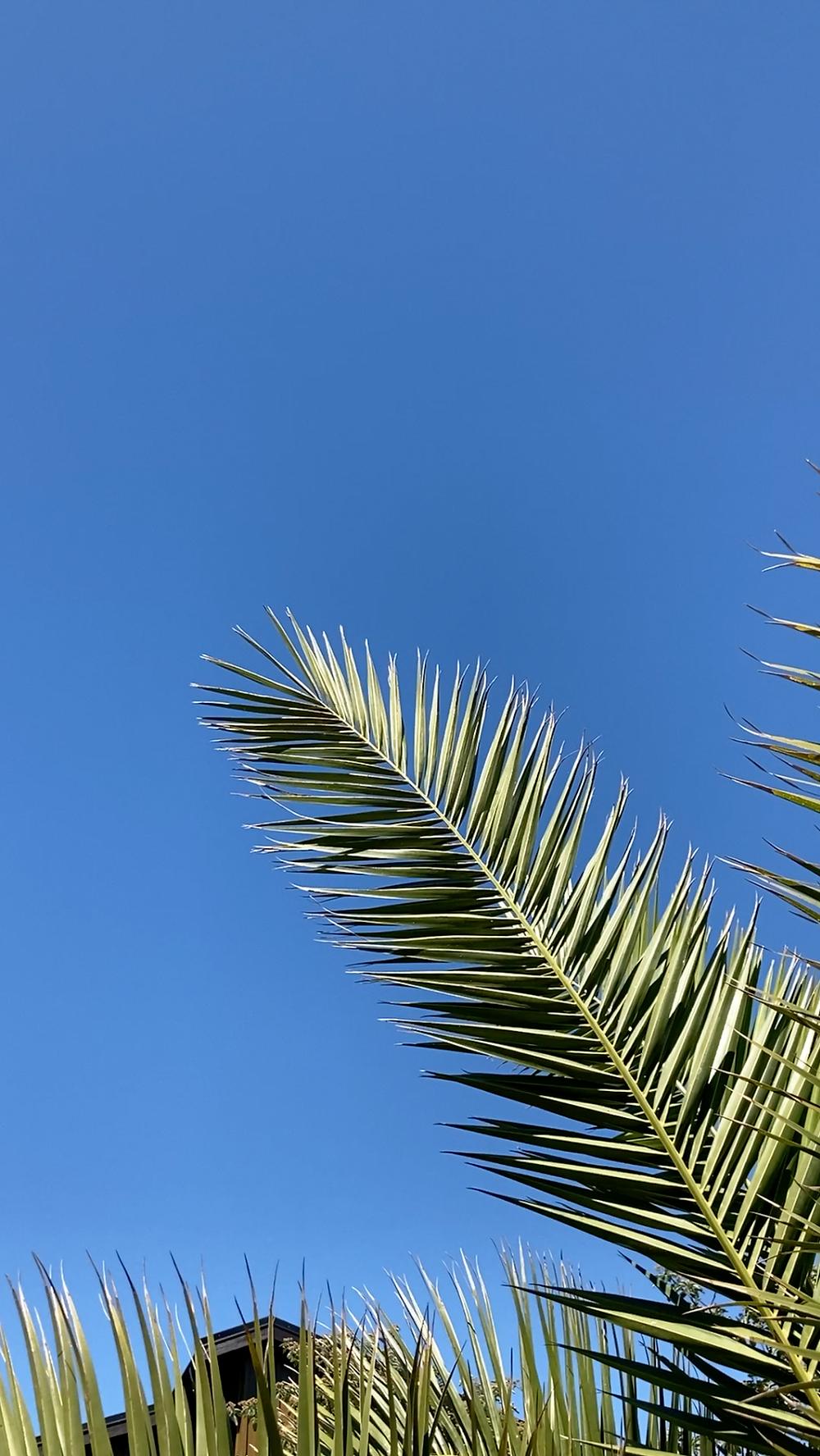 Palmblad mot en blå himmel