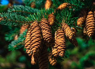Conifer Trees Essential Oil Blend