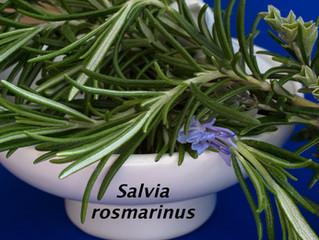 Salvia rosmarinus – Rosemary's new binomial name!