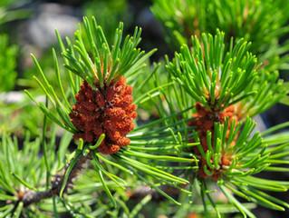 Pinyon Pine of the Southwest