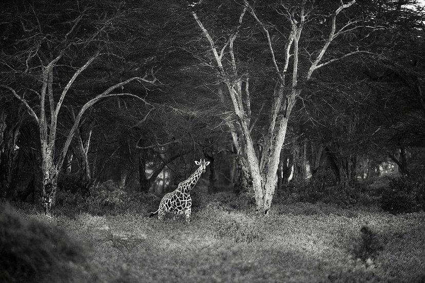 Hervé Négre . Girafe Kenya