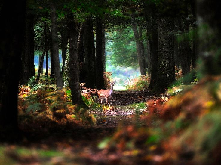 Amedée De Almeida . Biche en Forêt