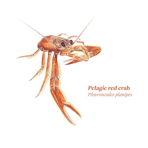 Pleuroncodesplanipes_RedCrab_Klance-01.p