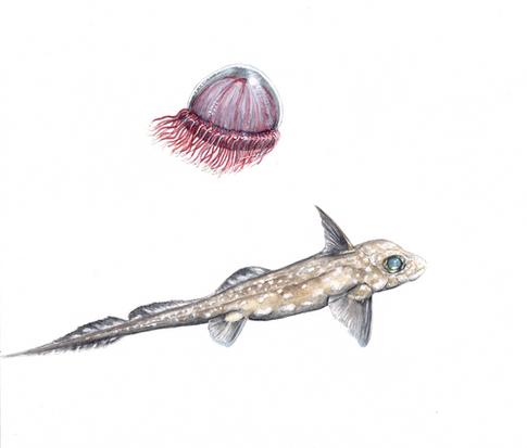 Benthocodon and Hydrolagus - KLance-pain