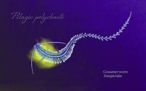 Tomopteridae_type_Klance.png