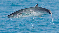 king mackerel fishing charter