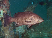 Grouper caught charter fishing
