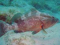 Grouper caught carolina beach