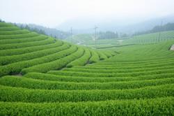 Mino Shirakawa tea plantation