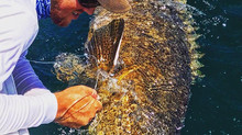 Last week of June Goliath Grouper Report