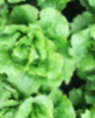 Butterhead lettuces, enjoying the aftern
