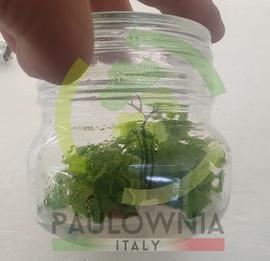 Paulownia Italy