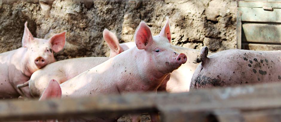 Transmissão e Controle de Salmonella na Cadeia Produtiva de Suínos