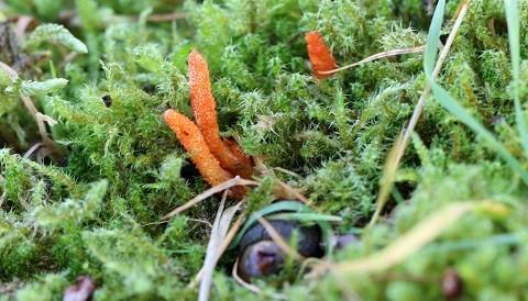 Cordyceps growing in nature