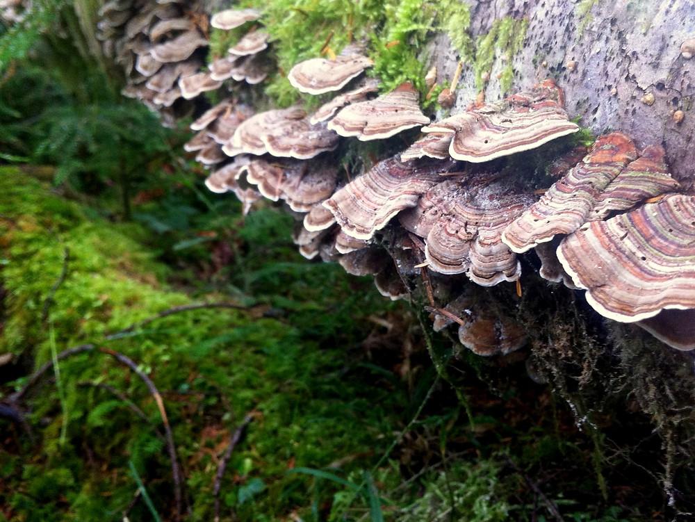 """A """"trail"""" of turkey tail mushrooms."""