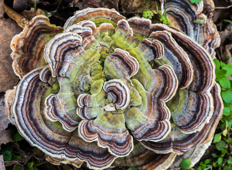 The Magical Turkey Tail