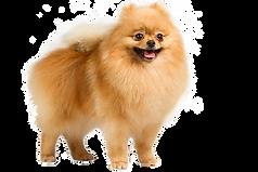kisspng-pomeranian-german-shepherd-puppy-dog-breed-america-lord-shiva-5ac3a687439967.88384