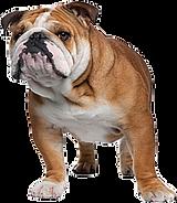 english-bulldog-png.png