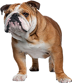 english-bulldog-png.png