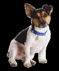 kisspng-jack-russell-terrier-rat-terrier-miniature-fox-ter-sparkle-puppy-5a7e51e848c017.70