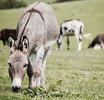 donkeys-cross-half-ass-adventures.jpeg