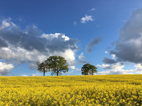 Rapeseed Fields Photography Print