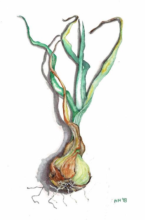 Spring Onion Watercolour Print