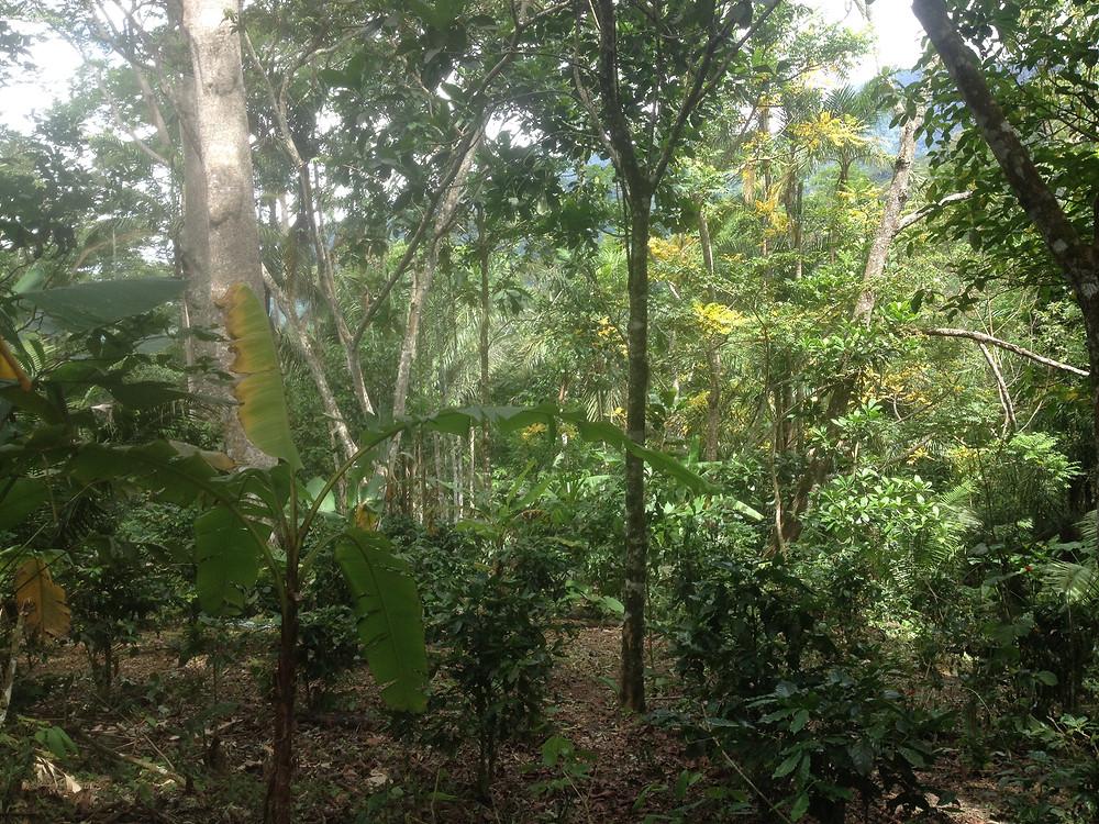 Food Forest in San Martin, Peru