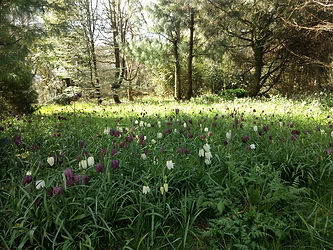 Naturalised Fritillaria meleagris