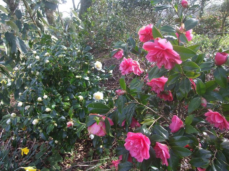 """Camellia """"Debbie"""""""