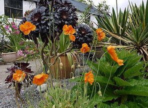 Papaver atlanticum. double orange poppy