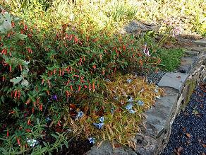 Cupea ignea.firecracker plant. cigar flower