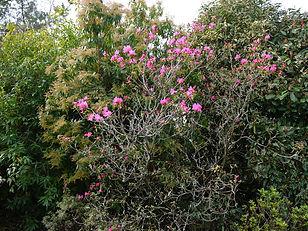 Rhododendron Ostara