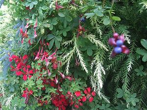 Tropaeolum tuberosum. climbing nasturtium. blue berries
