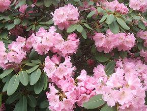 Pink Rhododendron hybrid