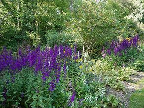 Lobelia Hadspen's Purple