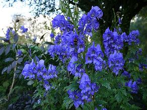 Aconitum carmichaelii. wolf's bane