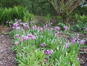 Primulaceae Primula secundiflora